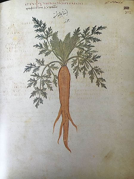 Drawing of a carrot plant from the 6th century AD